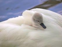 Pollo del cisne Foto de archivo libre de regalías