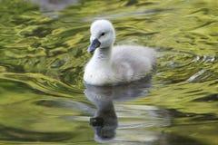 Pollo del cisne Fotos de archivo libres de regalías