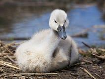 Pollo del cisne Fotografía de archivo libre de regalías