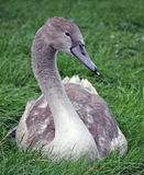 Pollo del cisne fotografía de archivo