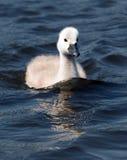 Pollo del cisne blanco mullido foto de archivo libre de regalías