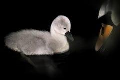 Pollo del cisne con el pico del cisne mudo de la madre Foto de archivo