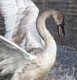 Pollo del cisne del cisne de trompetista Foto de archivo libre de regalías