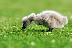 Pollo del cisne del cisne negro imagenes de archivo