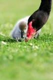 Pollo del cisne del cisne negro foto de archivo libre de regalías