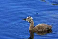 Pollo del cisne del cisne negro (atratus del Cygnus) Imagenes de archivo