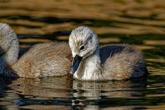 Pollo del cisne del cisne mudo Imágenes de archivo libres de regalías