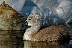 Pollo del cisne del cisne mudo Fotografía de archivo