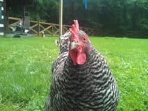 Pollo del cortile Fotografia Stock