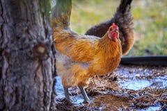 Pollo del cortile all'aperto Fotografia Stock Libera da Diritti