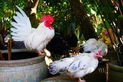 Pollo del gallo Fotografia Stock Libera da Diritti