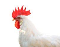 Pollo del gallo fotografia stock