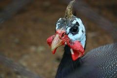 Pollo del gallo en hierba en granja avícola libre tradicional de la gama Foto de archivo