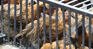 pollo del grupo 4k en la jaula, mercado de Shangri-La, China de Yunnan almacen de video