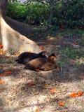 Pollo del indio de Desi Fotos de archivo libres de regalías