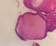 Pollo del ovario del folículo Imagen de archivo