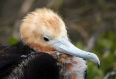 Pollo del pájaro de fragata Imagen de archivo libre de regalías