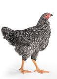 Pollo del raggio Fotografie Stock Libere da Diritti