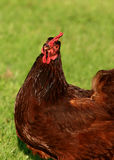 Pollo del rojo de Rhode Island Fotografía de archivo libre de regalías
