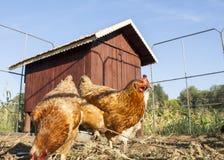 Pollo delante de su casa de gallina Fotografía de archivo