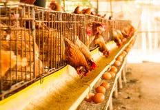 Pollo dell'azienda agricola Fotografia Stock Libera da Diritti