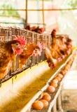 Pollo dell'azienda agricola Fotografia Stock
