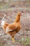 Pollo della gallina di Brown che sta nell'utilizzazione del terreno per gli animali da allevamento, più livest Fotografia Stock
