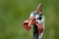 Pollo della Livorno Fotografia Stock