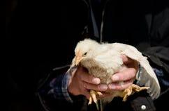 Pollo della tenuta dell'uomo Immagini Stock
