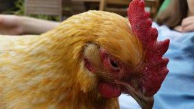 Pollo depresso Fotografia Stock