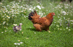 Pollo después de la gallina en campo de hierba verde Foto de archivo libre de regalías
