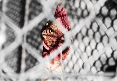 Pollo detrás de la cerca de alambre Fotografía de archivo libre de regalías