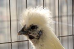 Pollo di bianco di Silkie Fotografie Stock