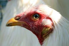 Pollo di Bionda Fotografie Stock