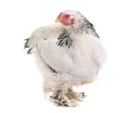 Pollo di Brahma in studio immagine stock