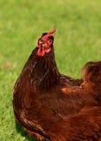 Pollo di colore rosso di Rhode Island Fotografia Stock Libera da Diritti