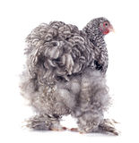 Pollo di Orpington Immagini Stock Libere da Diritti
