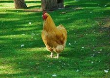 Pollo di Orpington Fotografia Stock