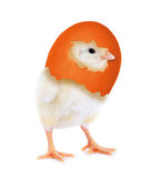 Pollo di Pasqua Immagini Stock Libere da Diritti