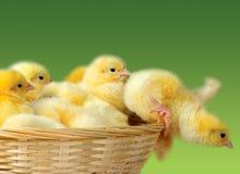 Pollo di Pasqua Immagini Stock