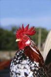 Pollo di Serama, Kelantan, Malesia Immagini Stock Libere da Diritti
