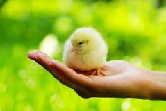 Pollo a disposizione Immagini Stock