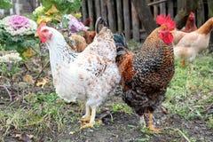 Pollo e gallo Immagine Stock
