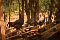 Pollo e gallo Fotografia Stock Libera da Diritti