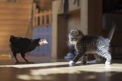 Pollo e gattino Immagine Stock Libera da Diritti