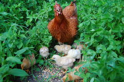 Pollo e piccoli polli Fotografie Stock Libere da Diritti