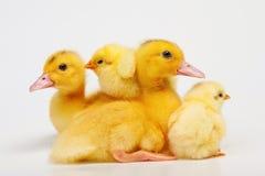 Pollo ed anatra Fotografia Stock