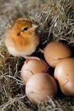 Pollo ed uova Fotografia Stock