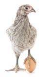 Pollo ed uovo Fotografie Stock Libere da Diritti