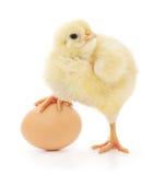 Pollo ed uovo Fotografia Stock